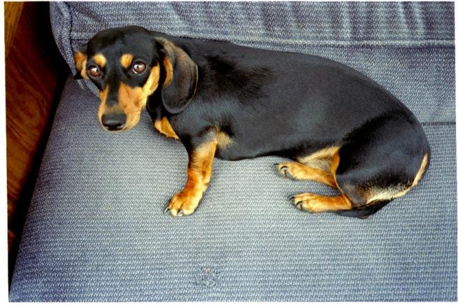 weinerdog