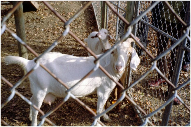 orch_goat